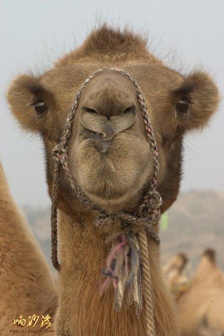 12生肖的动物特点来形容沙漠之舟骆驼的外形:鼠的耳朵,牛的蹄子
